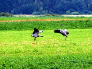 Zaloty żurawi - Biebrzański Park Narodowy
